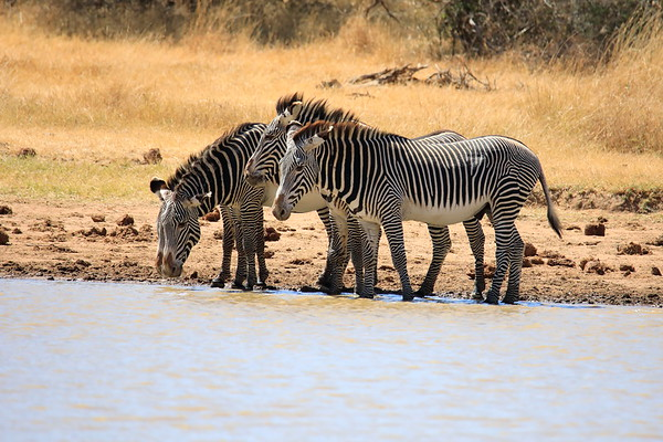 Grevy's Zebra Loisaba 2018