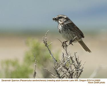 Savannah Sparrow A24900.jpg