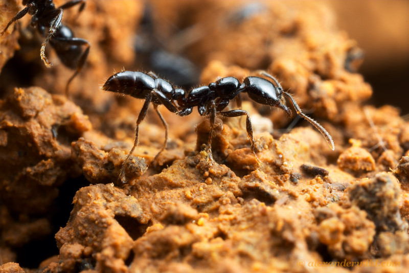 Onychomyrmex hedleyi  Cape Tribulation, Queensland, Australia