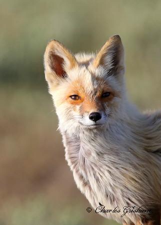 Red Fox in Alaska