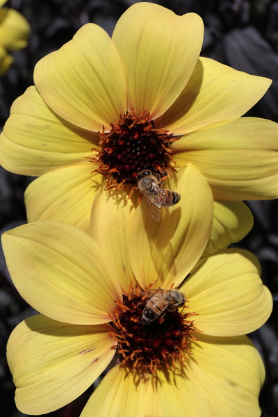 Two Bees and Two Dahlias