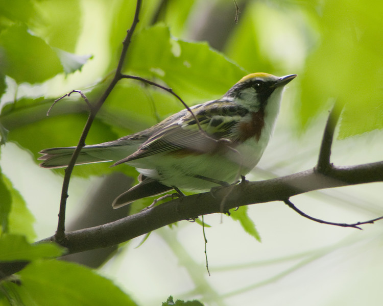 Chestnut-sided Warbler  Monticello Park, Alexandria VA