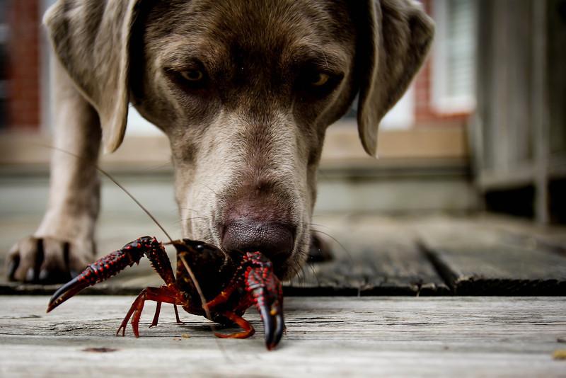 Crawfish Dog