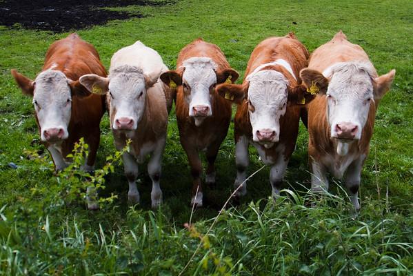 Gerard's Cows