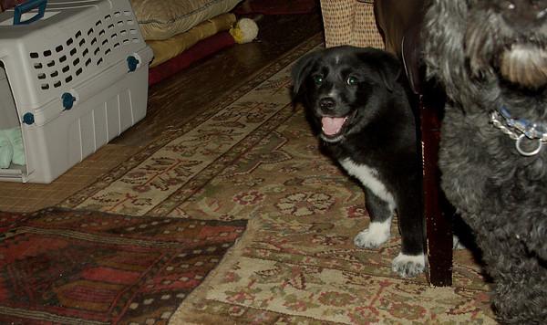 BRUISER (rescue pup PAM)
