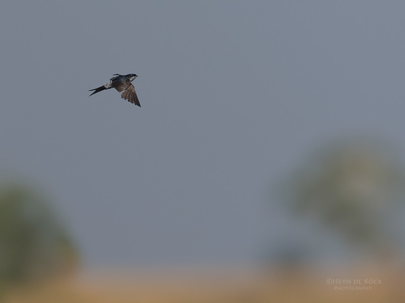 Common House Martin, Chobe River, NAM, Oct 2016-1.jpg