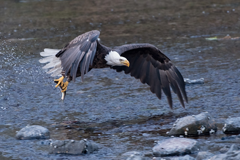 #0585 Bald Eagle
