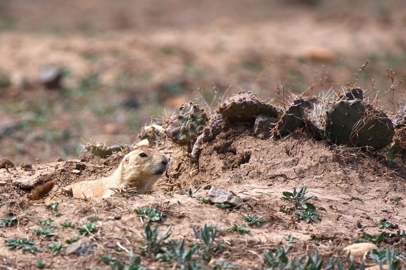 Prairie Dog-17