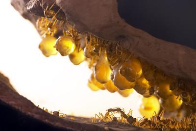 Myrmecocystus mexicanus honeypot ants in the nest.