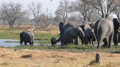 Elephants in the Khwai River Botswana