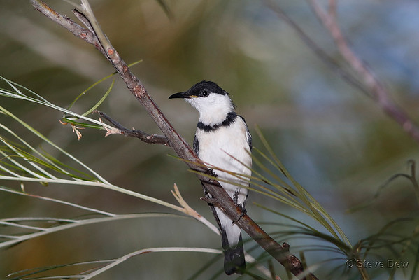 Banded Honeyeater