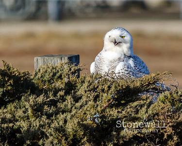 2017 Snowy Owl