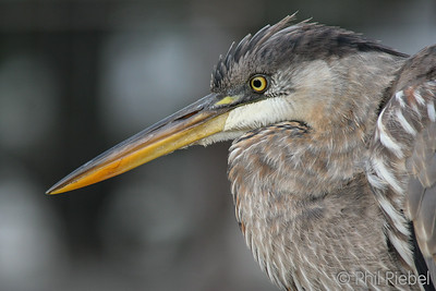 Great Blue Heron (In captivity)