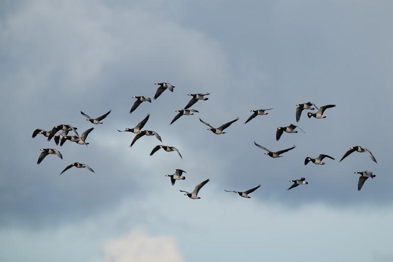 bernikla białolica | barnacle goose | branta leucopsis