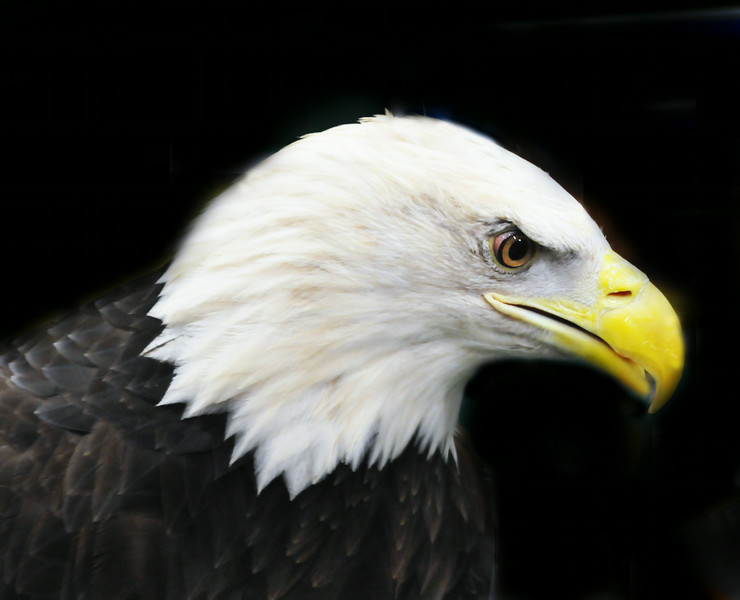 Great Bald Eagle .jpg