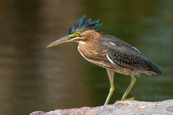 Green Heron Private Gallery