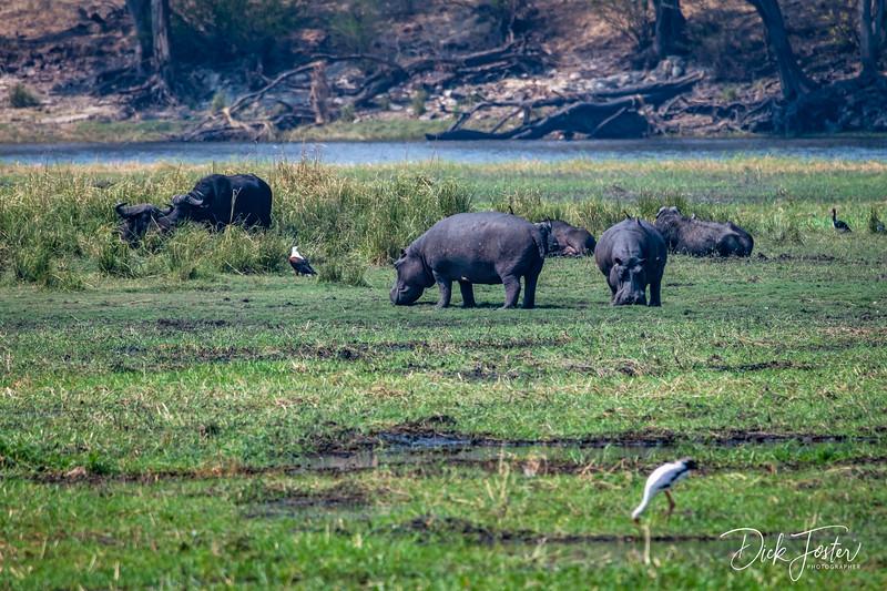 Hippos Grazing on Island