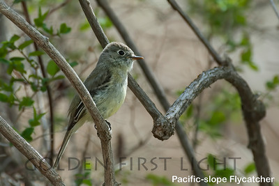 Pacific-slope Flycatcher, Cold Springs Sisters OR, USA