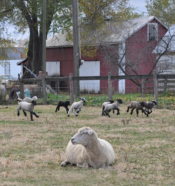 Lambs on the run 11-08-08a.jpg