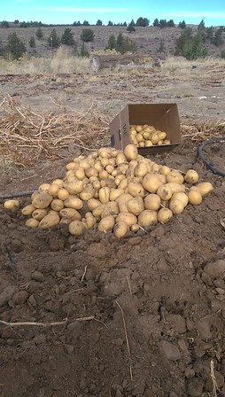 Potatoes 2015
