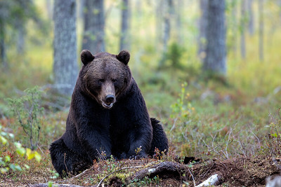 Brunbjørn (Brown Bear)