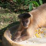 Small monkey in Bonito, Pantanal, Brazil