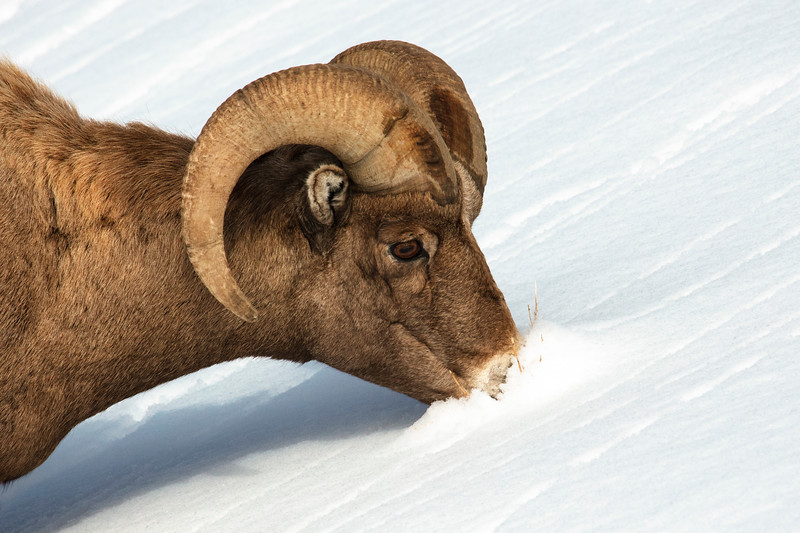387A9316 Rocky Mtn Bighorn Sheep faceplant close.jpg