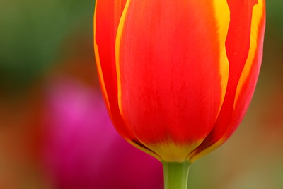 A tulip stands out from its neighbors. © 2020 Kenneth R. Sheide
