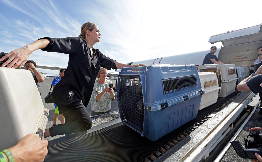 . Volunteers unload 35 dogs from Texas shelters flown to make space for companion animals rescued in the Hurricane Harvey aftermath, Wednesday, Aug. 30, 2017, in Seattle. The dogs arriving in Seattle were already in Texas shelters when Harvey hit and are being transferred to Seattle-area shelters so animals displaced from the flooding can be cared for in Texas until they can be reunited with their families there. The rescue transfer is a collaboration between Humane Society of the United States, Wings of Rescue, the Progressive Animal Welfare Society (PAWS) and other Seattle-area shelters. (AP Photo/Elaine Thompson)