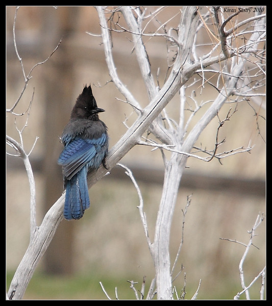 Steller's Jay, Cuyamaca Rancho State Park, San Diego County, California, March 2010