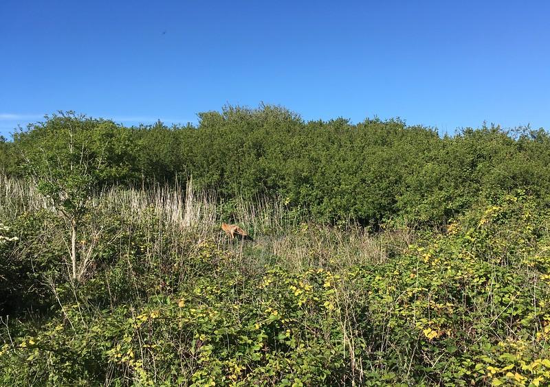 Fox in the bush :o