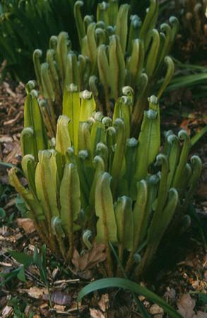 Asplenium scolopendrium in voorjaar
