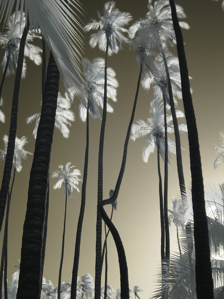 Waving Palms Infrared