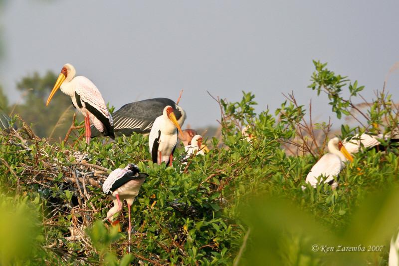 Yellow-billed Stork, Moremi Game Reserve, Okavango Delta, Botswana