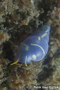Yellow-lined Denim Snail
