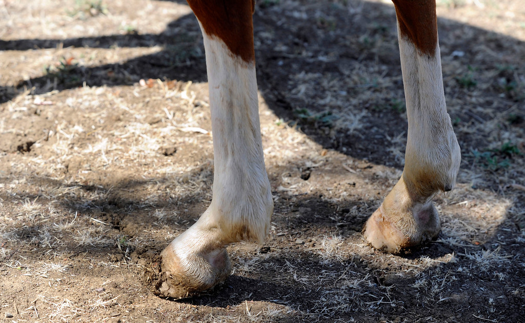 ". One of the signs of neglect Jazmine has is severely worn tendons caused by over-riding, Corinna Bledsoe said at her ranch in Brentwood, Calif., on Wednesday, July 31, 2013. ""Before, you could see every bone in her body,\"" Bledsoe said. (Susan Tripp Pollard/Bay Area News Group)"