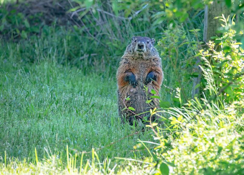 Groundhog Looking around