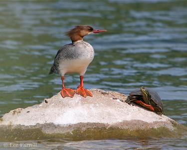 Chatfield Birding