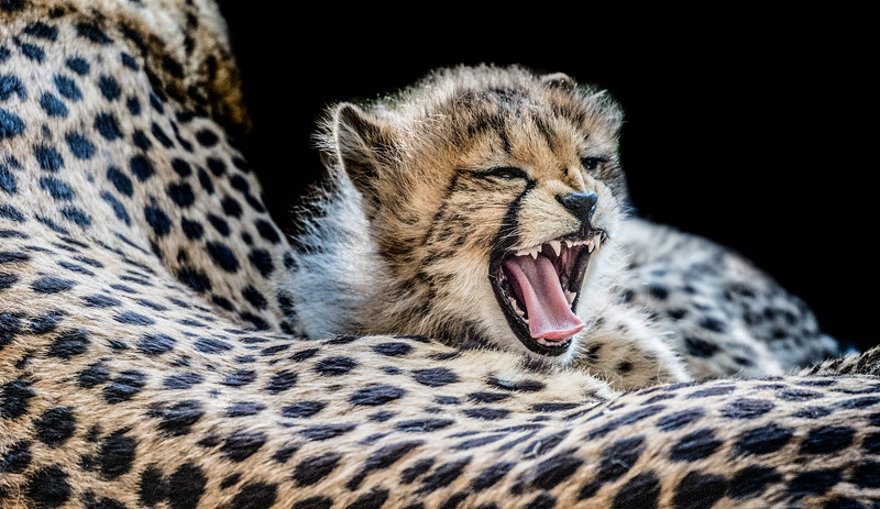 Cheetah cub lying lazy around and yawning