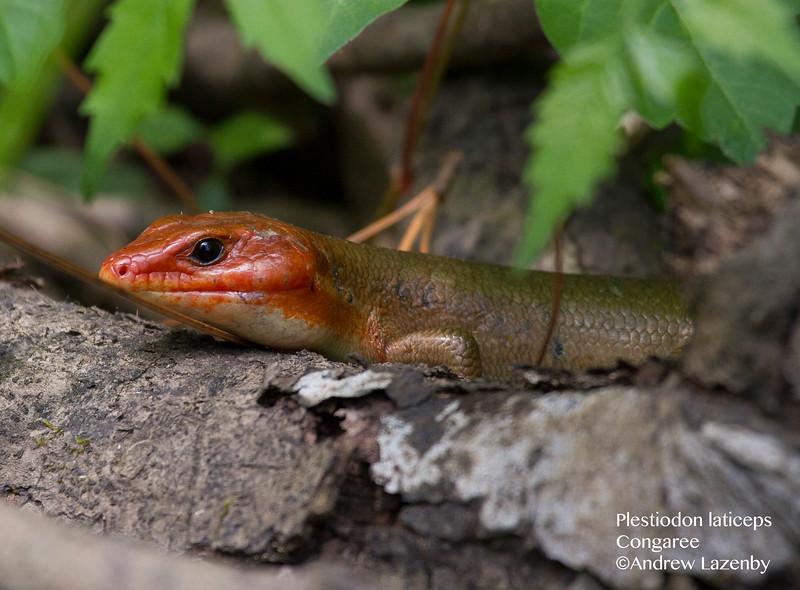 Plestiodon laticeps.jpg