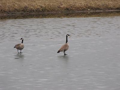 20100320 Canada Goose