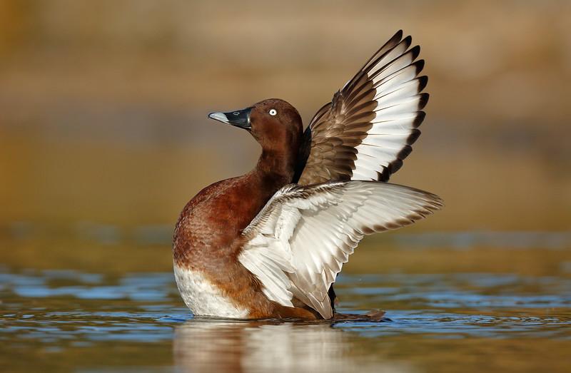 White-eyed Duck 3.jpg