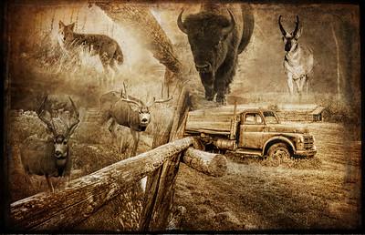 Buffalo- Bison