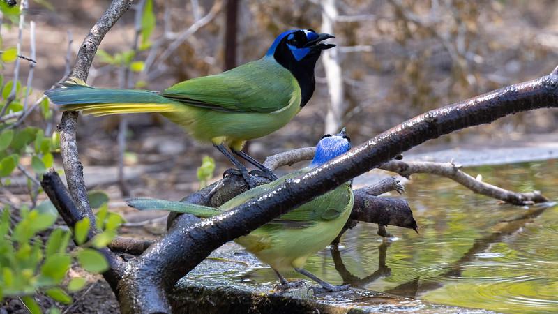 Green Jays @ Laguna Vista Nature Trail