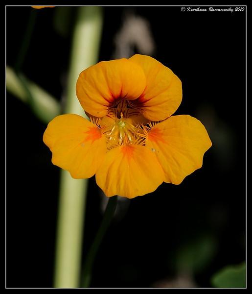 Garden Nasturtium, San Elijo Lagoon, San Diego County, California, March 2010
