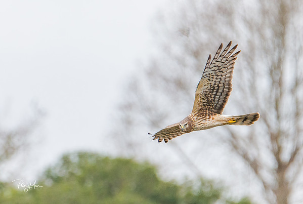 Northern Harrier 2-1-SAI-stabilize.jpg