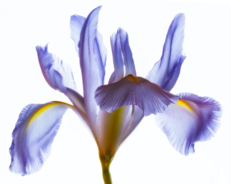 pale-iris-05.jpg