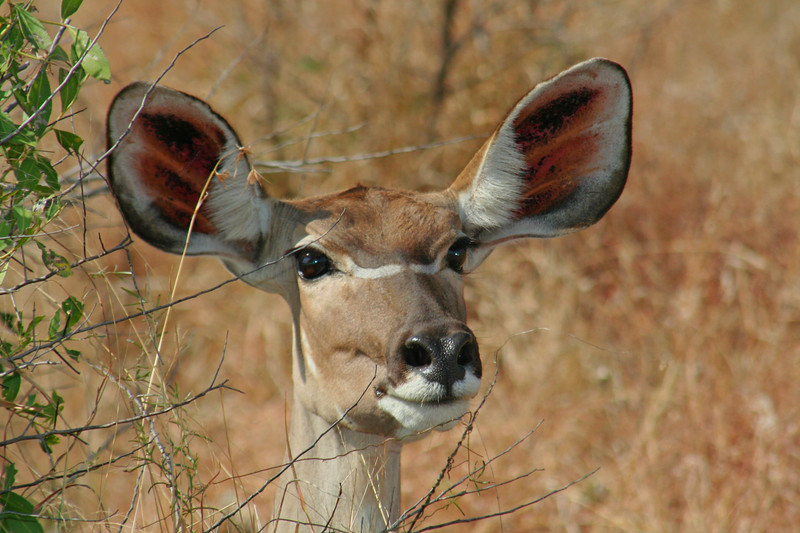 Beth's Kudu-Female Head++FINALZIMBABWEBeth's Kudu-Female Head++FINAL.jpg
