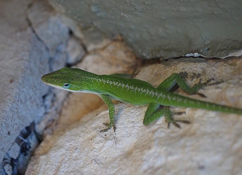 anole-lizard_11031335926_o.jpg