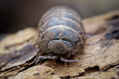 Woodlice, Millipedes and others